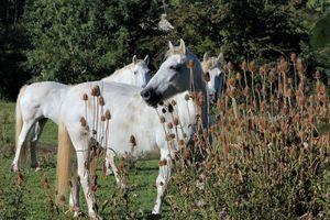 chevaux-1