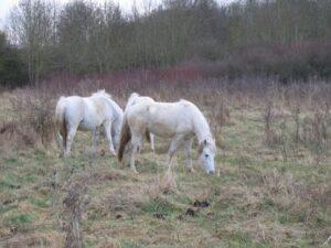 chevaux-camarguais-boissise2